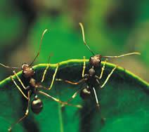 ant colony optimization research papers In particular, ants have inspired a number of methods and techniques among which the most studied and the most successful is the general purpose optimization technique known as ant colony optimization.
